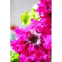 Petuunia Fimbriatta - Amarant - 80 seemned - Petunia x hybrida fimbriatta