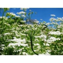 Caraway seeds - Carum carvi - 350 seeds