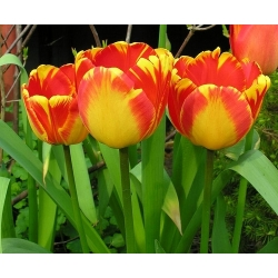 Tulipán Banja Luka - Tulipán Banja Luka - 5 kvetinové cibule - Tulipa Banja Luka