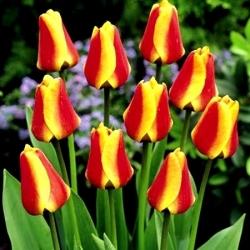 Tulipa Cape Cod - Tulip Cape Cod - 5 lampu