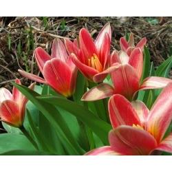 Tulipa Fashion - paquete de 5 piezas