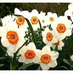 Nárcisz - Professor Einstein - csomag 5 darab - Narcissus