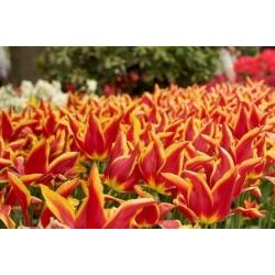 Tulipa Aladdin - Tulip Aladdin - 5 lampu