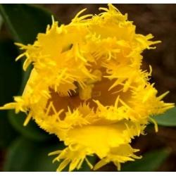 Тюльпан Hamilton - пакет из 5 штук - Tulipa Hamilton