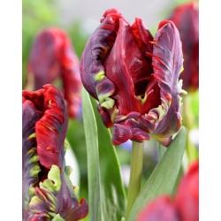 Тюльпан Rococo - пакет из 5 штук - Tulipa Rococo