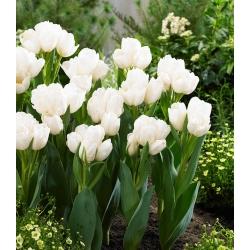 Tulipa Weisse Berliner - Tulip Weisse Berliner - 5 lampu
