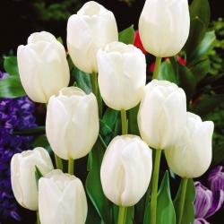 Тюльпан White Dream - пакет из 5 штук - Tulipa White Dream