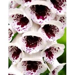 Digital - Elsie Kelsey - 1000 semillas - Digitalis purpurea