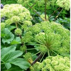 Angelica seeds - Angelica archangelica - 90 seeds