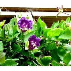 Семена синей чашки и виноградной лозы - Cobaea scandens - 7 семян - семена