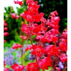 Coral Bells vegyes mag - Heuchera sanguinea - 2500 mag - magok