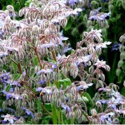 Hạt giống lưu ly - Borago officinalis - 120 hạt
