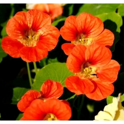 Biji benih campuran Nasturtium - Tropaeolum majus - 40 biji - Tropaelum majus