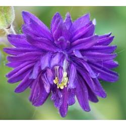 Semillas mezcladas doble Columbine - Aquilegia vulgaris - 240 semillas