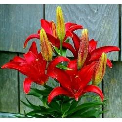 Lilium, Lily Asiatic Merah - bebawang / umbi / akar - Lilium
