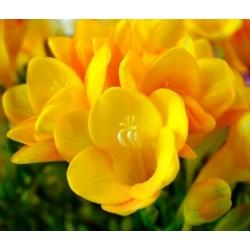 Freesia - Single Yellow - paquete de 10 piezas