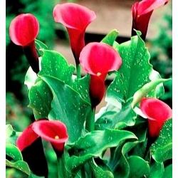 Zantedeschia, Calla Lily Red - cibuľa / hľuza / koreň