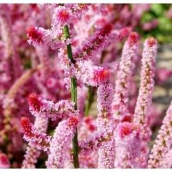 Pink Statice seemned - Limonium Suworowii - 1100 seemnet - Limonium suworowii, syn. Psylliostachys suworowii