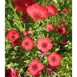 Scarlet len, vörös lenmag - Linum grandiflorum - 300 mag - magok