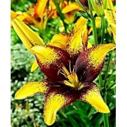 Lilium, Lily Yellow & Brown