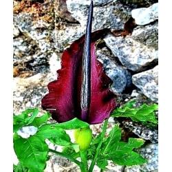 Rồng lily - Dracunculus Vulgaris; dracunculus thông thường, arum rồng, arum đen, lily voodoo, lily rắn, lily stink, rồng đen, lily đen, dragonwort, ragons