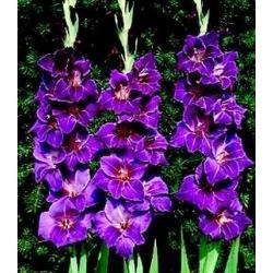Gladiolas Violetta - 5 gab. Iepakojums - Gladiolus Violetta