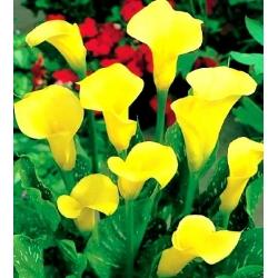 Zantedeschia, Calla Lily Cream - cibuľa / hľuza / koreň