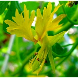 Canary Creeper, семена виноградной лозы Canary Bird - Tropaeolum peregrinum - 24 семена