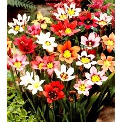 Sparaxis, Harlequin Flower Mix - 20 bulbs