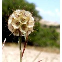 Starflower Pincushion seemned - Scabiosa stellata - 25 seemnet