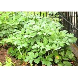 Valerian seeds - Valeriana officinalis - 280 seeds