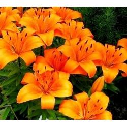 زنبق ، زنبق البرتقال الجني - لمبة / درنة / الجذر - Lilium