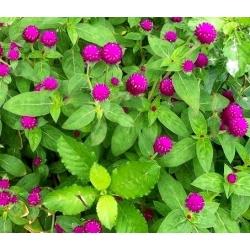 Globe Amaranth seeds - Gomphrena globosa - 60 seeds