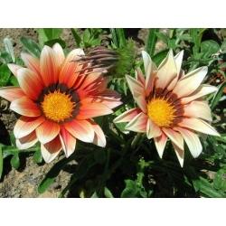 Gazania Sunshine Mix seemned - Gazania rigens - 250 seemet