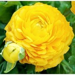 Gundegas - dzeltens - 10 gab. Iepakojums - Ranunculus