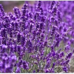 Lavender Hidcote seemned - Lavandula angustifolia - 200 seemnet - Lavendulavera
