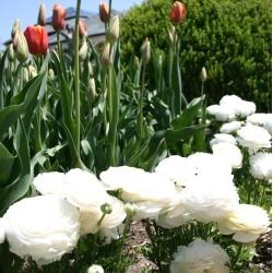 Gundegas - balts - 10 gab. Iepakojums - Ranunculus