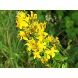 Насіння звіробій - Hypericum perforatum - 1800 насіння
