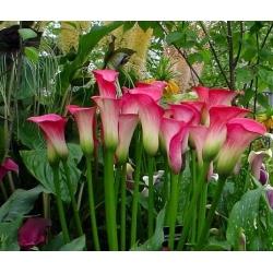 Zantedeschia, Calla Lily Pink - žiarovka / hľuza / koreň