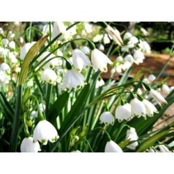 Leucojum aestivum - Summer Snowflake - 5 bulbs