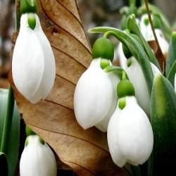 Galanthus nivalis - Snowdrop - 5 bulbs