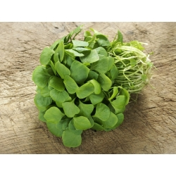 الرجلة ، بذور Verdolaga - بورتولاكا oleracea - 1100 البذور - Portulaca oleracea - ابذرة