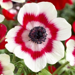 Szellőrózsa - De Caen - Bicolor - csomag 8 darab - Anemone