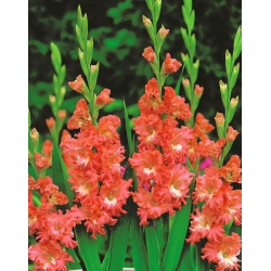 Gladiolas Frizzled Coral Lace - 5 gab. Iepakojums - Gladiolus Frizzled Coral Lace