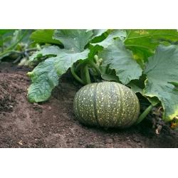 Pumpkin Miranda seeds - Cucurbita pepo - 24 seeds