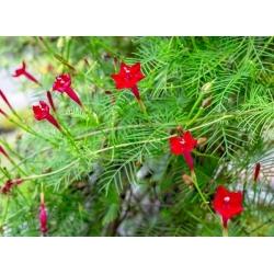 Ipomoea quamoclit - 38 семена - смесь
