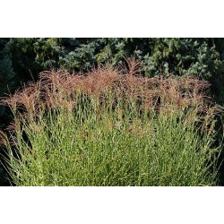 Семена Девичьей Травы - Miscanthus sinensis - 55 семян -  - семена