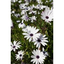 White Cape Daisy, African Daisy seeds - Osteospermum ecklonis - 35 seeds