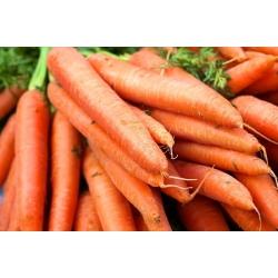 Carrot Amsterdam 3 seeds - Daucus carota (coated seeds) - 400 seeds