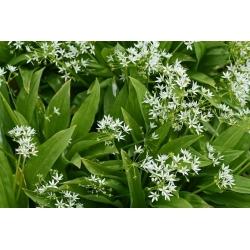 Ramsons, זרעי שום בר - Allium ursinum L. - 100 זרעים